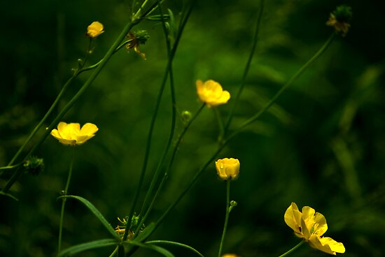 Buttercups by Trevor Kersley
