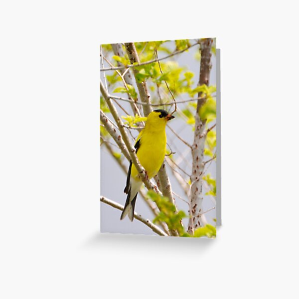 American Goldfinch Greeting Card
