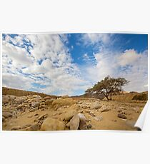 Enduring Acacia tree survives in the Desert Poster
