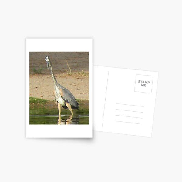 Juvenile Great Blue Heron Postcard