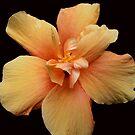 Yellow Hibiscus  by Madalena Lobao-Tello
