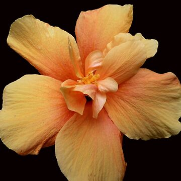 Yellow Hibiscus  by madalenalobaote