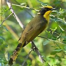 Helmeted Honeyeater by quentinjlang