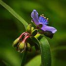 Spiderwort by Richard G Witham