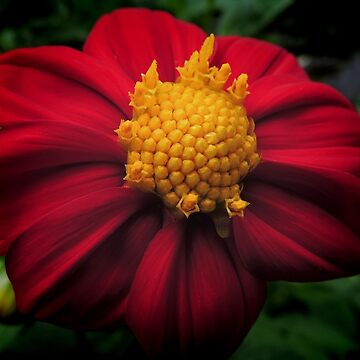 Dahlia 'Bishop of Auckland'  by blossom