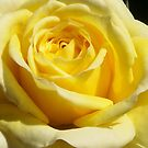 the yellow  rose by bogna777