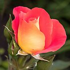 Luscious Rose by John Thurgood