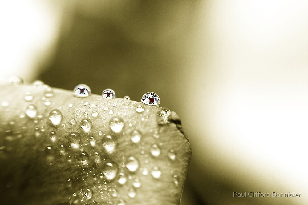 3 little drops on a rose one day by Paul Clifford Bannister