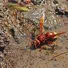 Large Potter Wasp by Robert Abraham