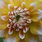 Yellow and White Dahlia by Karen Kaleta