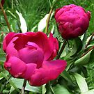 Two times a Peony by ienemien