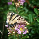 Yellow Swallowtail by Colleen Drew