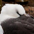 Black browed Albatross by Terry Mooney