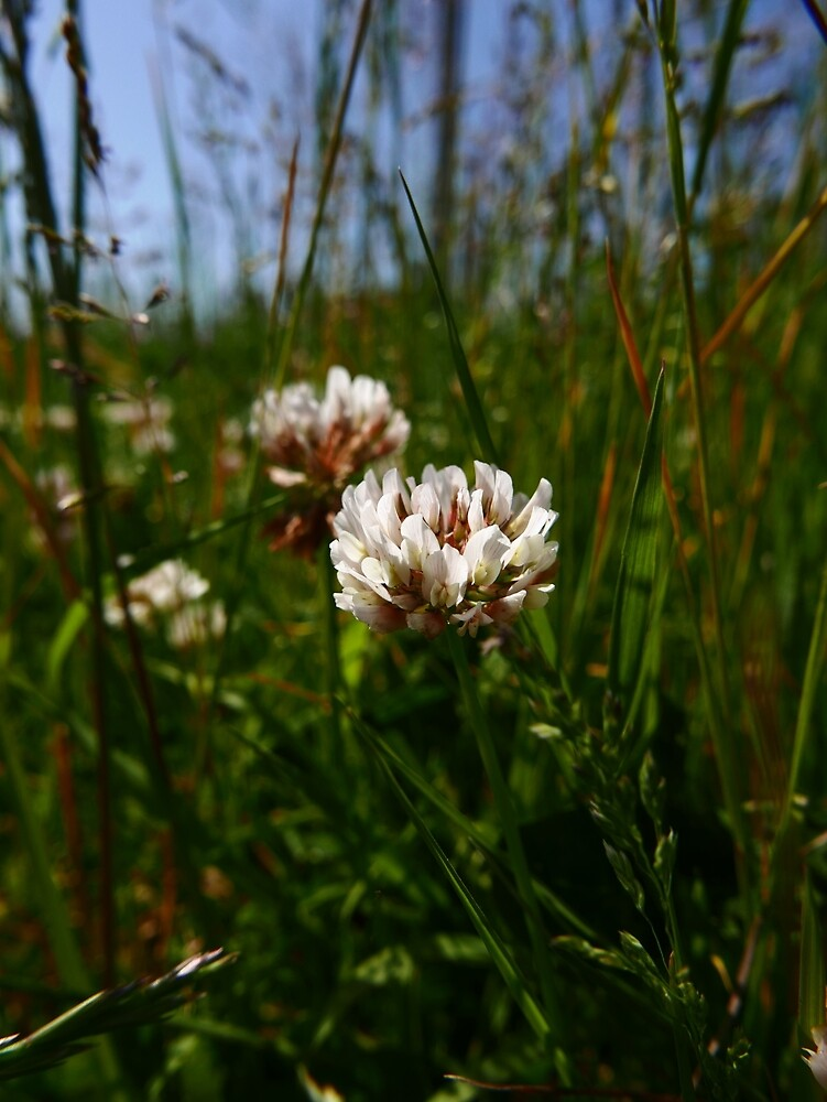 White Clover (Trifolium repens) by IOMWildFlowers