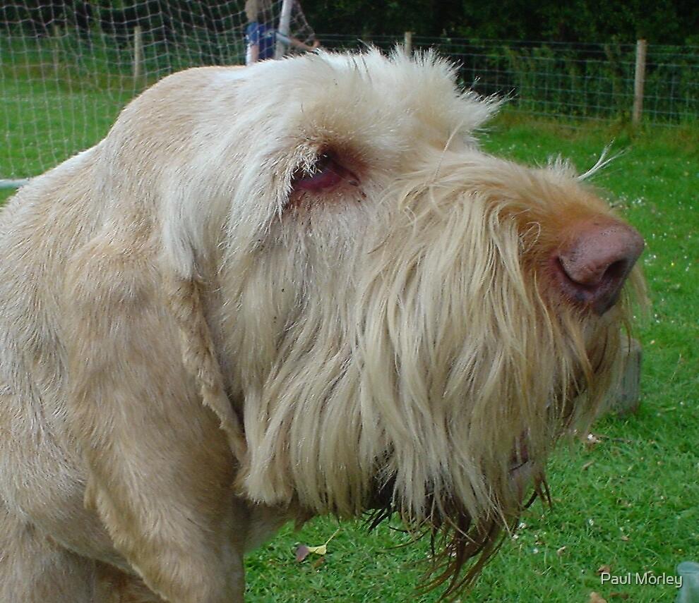 Italian Spinone Hunting Dog by Paul Morley