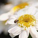 Carpet Beetle by Tracy Friesen