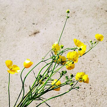 Buttercups by jeremydwilliams