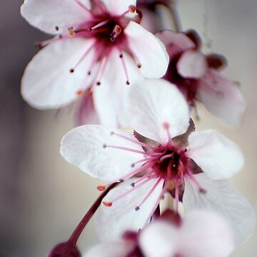 Cherry Blossoms by SeekingDivinity