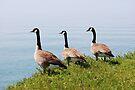 Three Geese In A Row by Lynda   McDonald