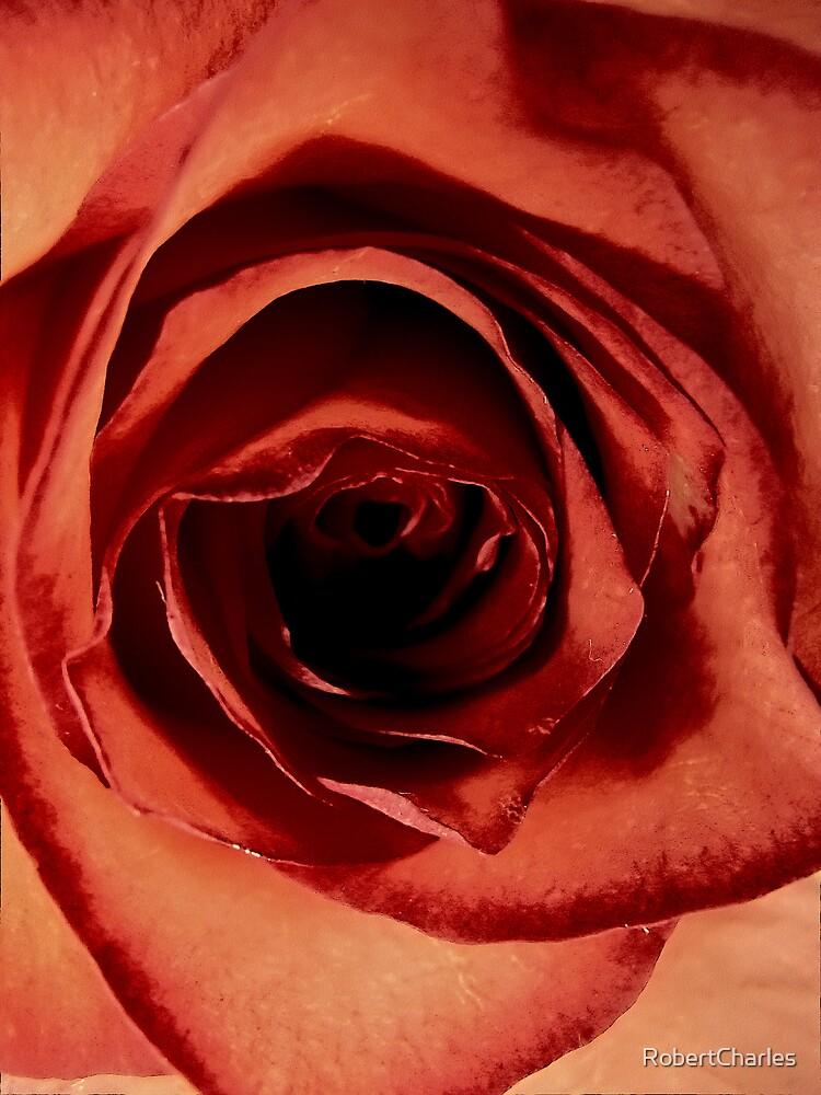 Rose is a rose is a rose is a rose by RobertCharles
