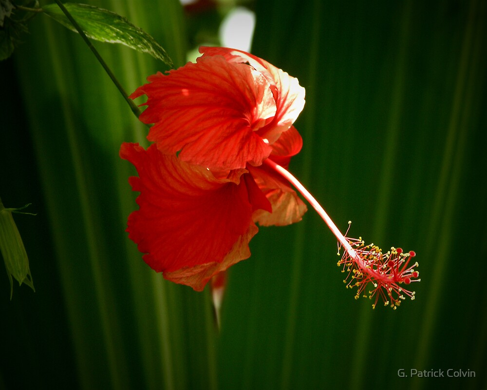 The Flower Dancer by Gregory Colvin