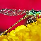 Damselfly Aglow (2) ! by robkal