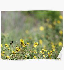Hummingbird and California Wild Sunflowers Poster