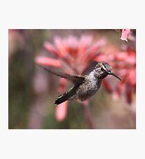 Anna's Hummingbird at Bolsa Chica Wetlands Photographic Print