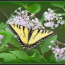 Tiger Swallowtail Butterfly on a Lilac Bush by Deb  Badt-Covell