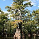 Cypress Beauty by Cheri Bouvier-Johnson