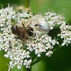 A Bee Meal for this Crab Spider,,,,,,,,Lyme Dorset UK by lynn carter