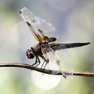 Four-spotted chaser by Jo Nijenhuis