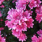 Pink Spring Mums-2 by Judi FitzPatrick