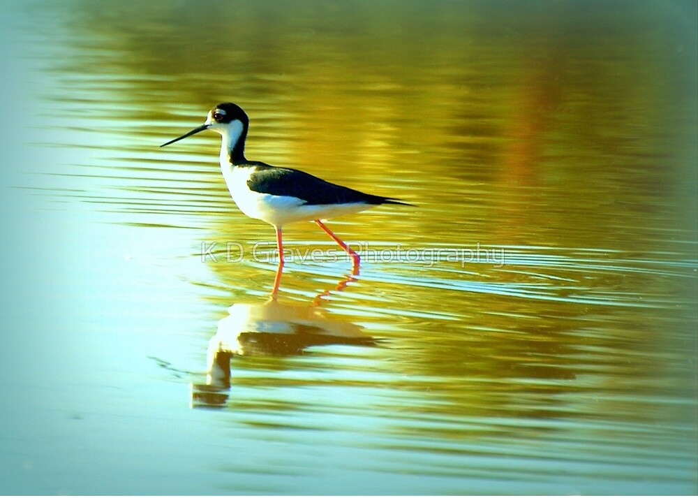 Black-necked Stilt by K D Graves Photography