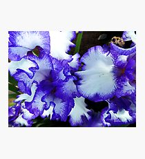 Beautiful Blue Iris Photographic Print