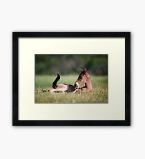 Andalusian Colt Framed Print