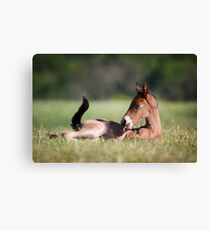 Andalusian Colt Canvas Print