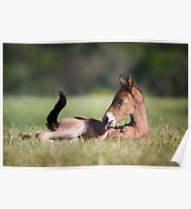 Andalusian Colt Poster