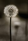 Dandelion  by Christine Wilson