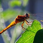 Translucent Dragonfly by sienebrowne