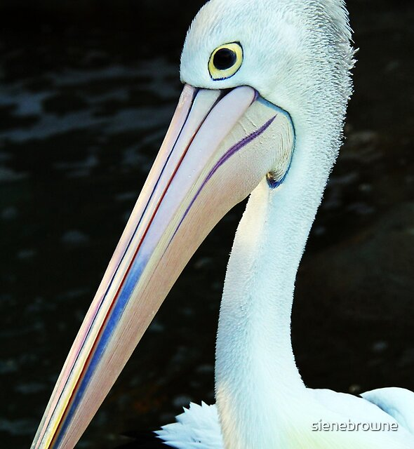 Up close with a Pelican by sienebrowne
