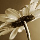 Antique daisy by mausue