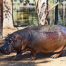 Hippo by miroslava