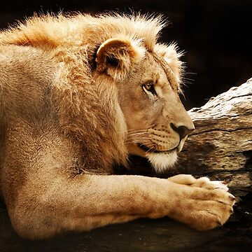 Lounging Lion by SeeThinkCreate