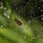 Rain Drops Spider by AnnDixon