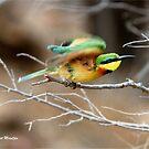 TAKING OFF - Little  Bee-eater Merops pusillus by Magriet Meintjes