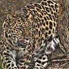Leopard by JThill