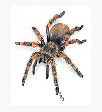 Mexican Red Knee Tarantula Photographic Print