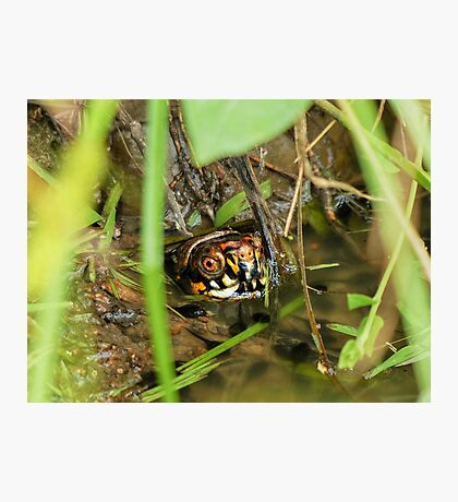 Box Turtle and Tadpoles Photographic Print