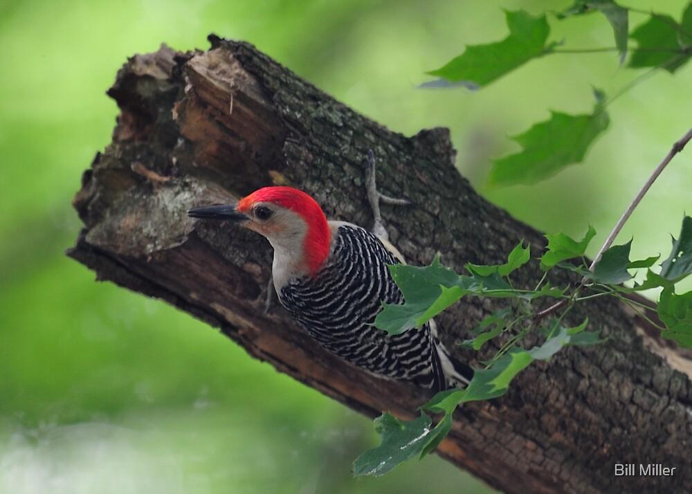 Red-bellied Woodpecker by Bill Miller